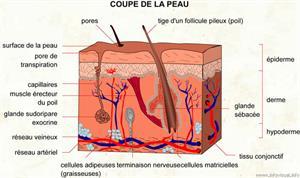 Peau (Dictionnaire Visuel)