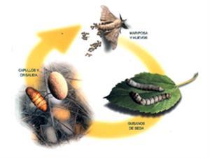 Ciclo de vida del gusano de seda (ppt)