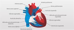 El círculo cardiaco