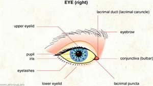 Eye  (Visual Dictionary)