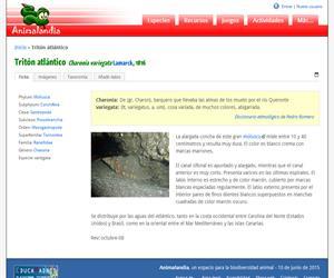 Tritón atlántico (Charonia variegata)