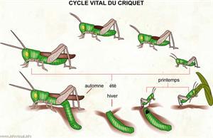 Cycle vital du criquet (Dictionnaire Visuel)