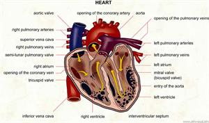 Heart  (Visual Dictionary)