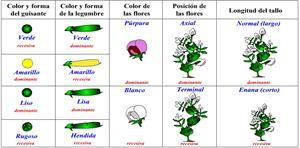 Genética mendeliana: teoría y problemas (cienciasnaturales.es)