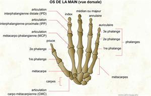 Os de la main (Dictionnaire Visuel)