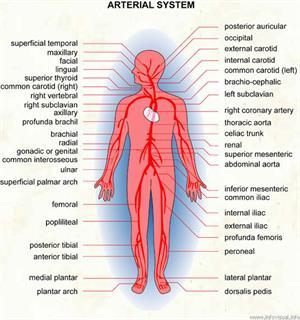 Arterial system  (Visual Dictionary)