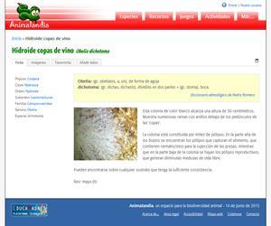 Hidroide copas de vino (Obelia dichotoma)