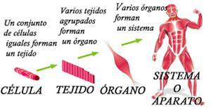 Células Tejidos órganos Sistemas Y Aparatos Del Cuerpo Humano