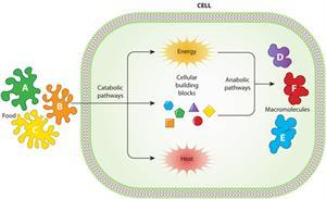 Metabolismo celular (Scitable)