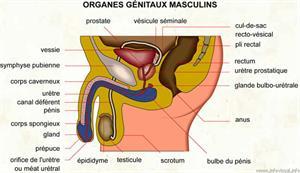 Organes génitaux masculins (Dictionnaire Visuel)