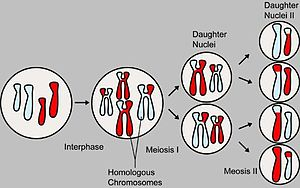 Video educativo sobre la Meiosis