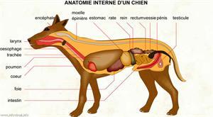 Anatomie interne d'un chien (Dictionnaire Visuel)