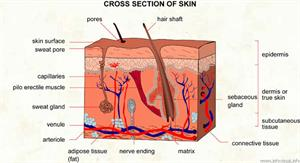 Skin  (Visual Dictionary)