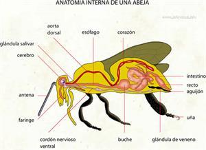 Anatomia interna de una abeja (Diccionario visual)