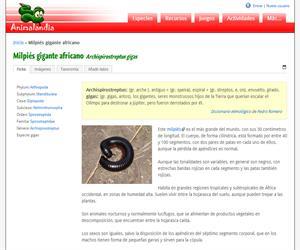 Milpiés gigante africano (Archispirostreptus gigas)