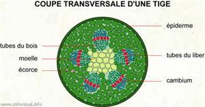 Coupe transversale d'une tige (Dictionnaire Visuel)