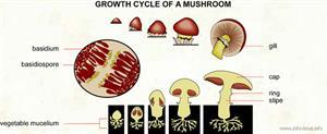 Growth cycle of a mushroom  (Visual Dictionary)