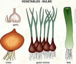 Bulbs  (Visual Dictionary)