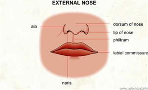 Nose  (Visual Dictionary)