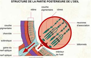 Structure de la partie postérieure de l'oeil (Dictionnaire Visuel)