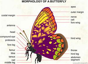 Butterfly  (Visual Dictionary)