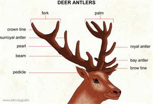 Deer antlers  (Visual Dictionary)