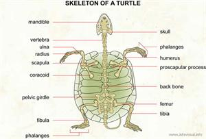 Skeleton of a turtle  (Visual Dictionary)