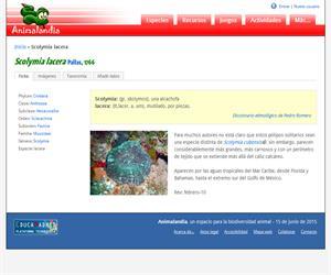 Scolymia lacera (Scolymia lacera)