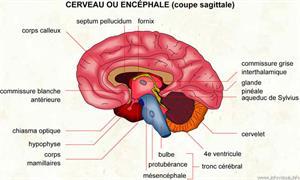 Encéphale (Dictionnaire Visuel)