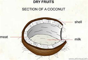Coconut  (Visual Dictionary)