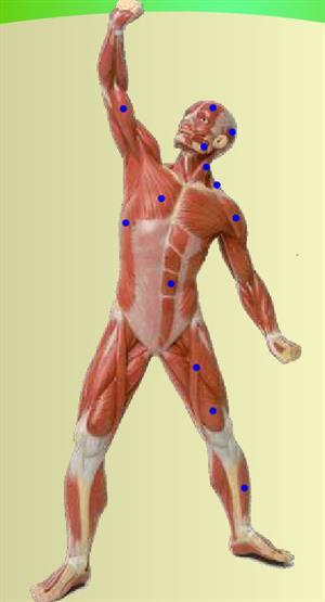 Músculos del cuerpo humano (educarm.es)