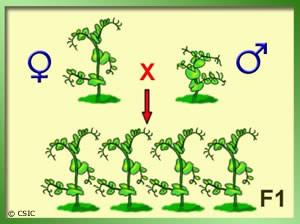 Los experimentos de Mendel (UCM)