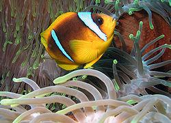 Pez payaso del Mar Rojo -Amphiprion bicinctus- (EducaMadrid)