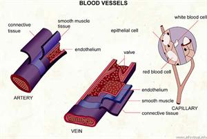 Blood vessels  (Visual Dictionary)