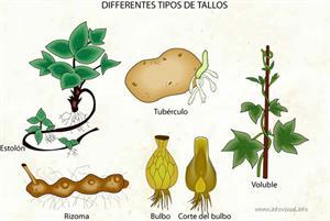 Differentes tipos de tallos (Diccionario visual)
