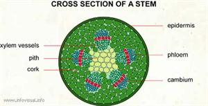 Cross section of a stem  (Visual Dictionary)