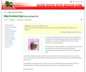 Abeja de antenas largas (Eucera longicornis )