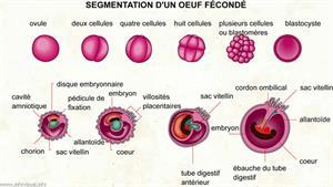 Segmentation d'un oeuf fécondé (Dictionnaire Visuel)