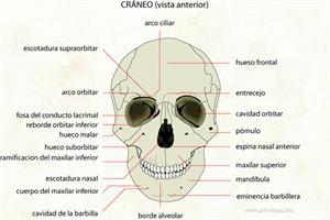 Cráneo (Diccionario visual)