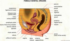 Female genital organs  (Visual Dictionary)