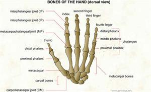 Bones of the hand  (Visual Dictionary)