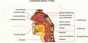 Fosa nasal - Cavidades nasal y oral (Diccionario visual)