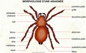 Araignée (Dictionnaire Visuel)