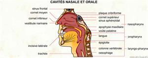 Cavités nasale et orale (Dictionnaire Visuel)