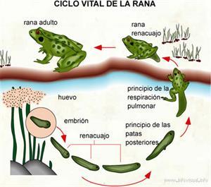 Ciclo vital de la rana (Diccionario visual)