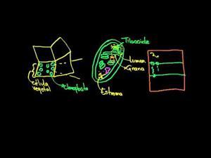 Fotosíntesis reacciones luminosas parte 1 (Khan Academy Español)