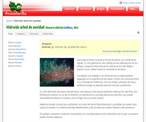 Hidroide árbol de navidad (Halocordyle disticha)