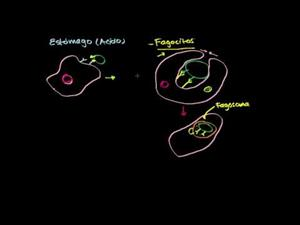 Rol de los fagocitos en la inmunidad (Khan Academy Español)