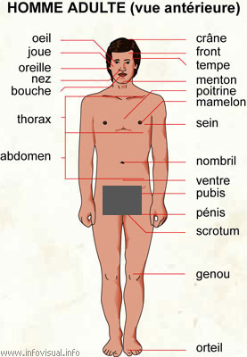 Homme adulte (vue antérieure) (Dictionnaire Visuel)