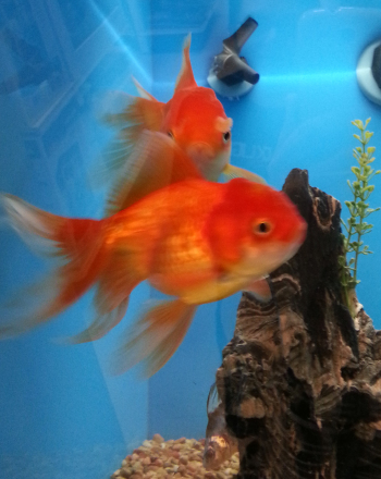 Goldfish vs. Human Respiration Rate